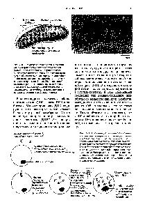 """Рис. 2-11. Правдоподобная гипотеза о возникновении митохондрий в ходе эволюции. Эта гипотеза основана на поразительном сходстве многих биохимических и <a href=""""/info/1386315"""">генетических свойств</a> у бактерий и митохондрий <a href=""""/info/166894"""">эукариотических</a> клеток. В процессе эволюции <a href=""""/info/166894"""">эукариотических</a> клеток между <a href=""""/info/1408663"""">клеткой-хозяином</a> и проникшей в ее <a href=""""/info/1282055"""">цитоплазму бактерией</a> установились взаимовыгодные симбиотические отношения. В конечном счете эти цитоплазматические бактерии превратились в митохондрии."""